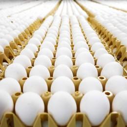 Uova al Fipronil, controlli raddoppiati E spunta la moda del caviale di lumaca