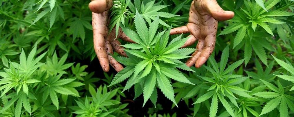 Vive isolato in un bosco a Genova Bergamasco coltiva marijuana, arrestato