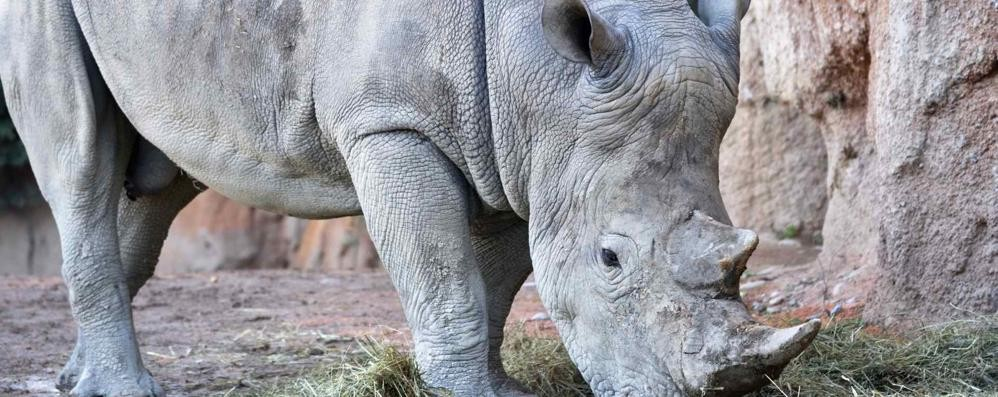 Benvenuto Pancho, il rinoceronte bianco al parco faunistico «Le Cornelle» - Video