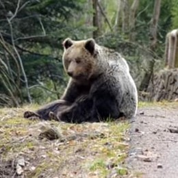 Il video integrale dell'incontro con l'orso 11 minuti a tu per tu con l'animale