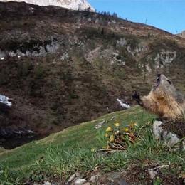 Dopo un «pisolino» di sette mesi ecco il risveglio della marmotta