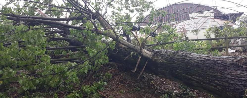 Trescore, albero si abbatte su una serra Fango in un'azienda agricola a Casazza