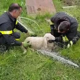 I Vigili del fuoco liberano una pecora Da ore incastrata in una rete a Cene