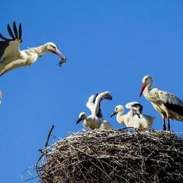 Lieto evento al Parco del Serio a Romano Nate due cicogne: sparite da 100 anni
