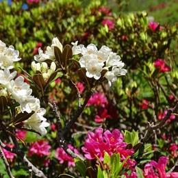 Conoscete il rododendro albino? Rarità bellissima anche sulle Orobie