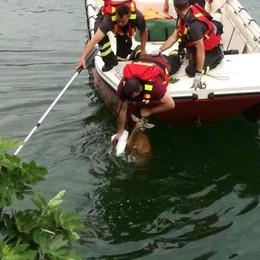 Capriolo si spaventa e finisce nel lago Salvato in extremis dai vigili del fuoco