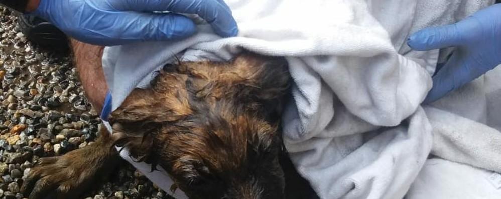 Cagnolina curiosa cade nel pozzetto Il salvataggio dei pompieri di Treviglio