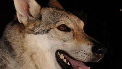 «Passeggiata con i lupi» rinviata «Dopo Ferragosto sarà riorganizzata»