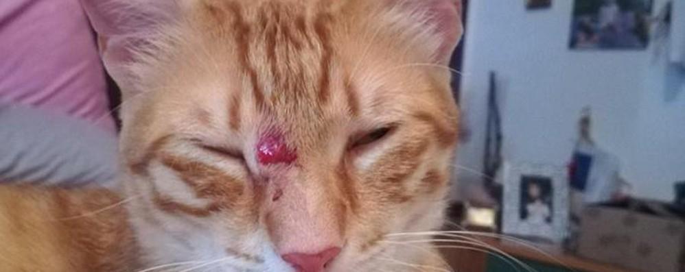 Gatto impallinato a Carobbio È allarme: «Non è la prima volta»