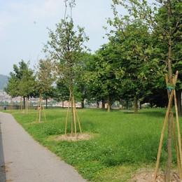 Nuovi alberi per una Bergamo più verde Ne verranno piantati quasi 400