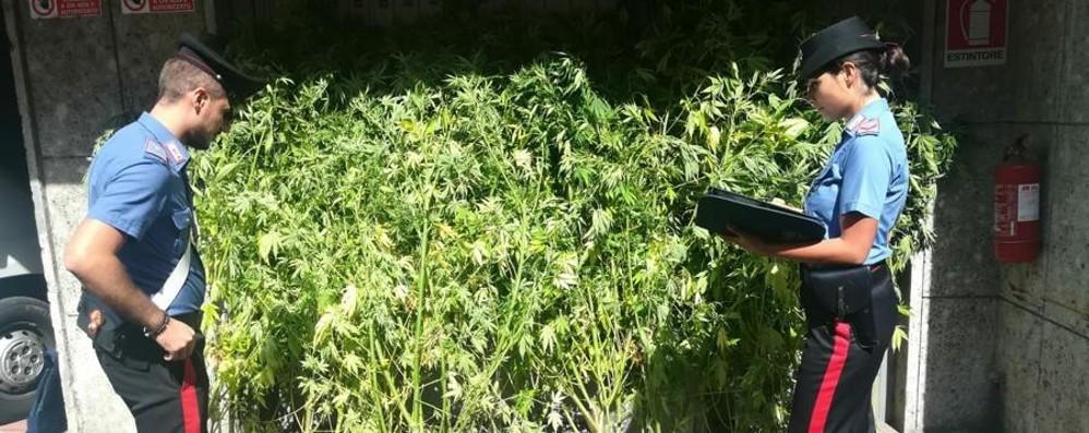 Scoperta piantagione di marijuana Zogno, arrestato 37enne e rilasciato