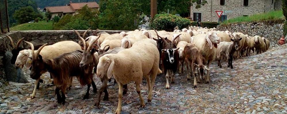 Allarme randagi a Locatello «Mi hanno ucciso sette capre»