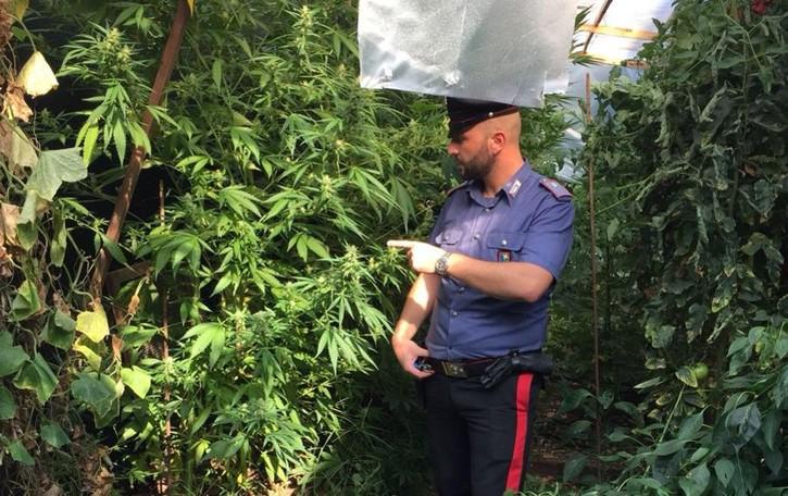 Tra pomodori e zucchine anche marijuana Calcio, 43enne finisce in manette