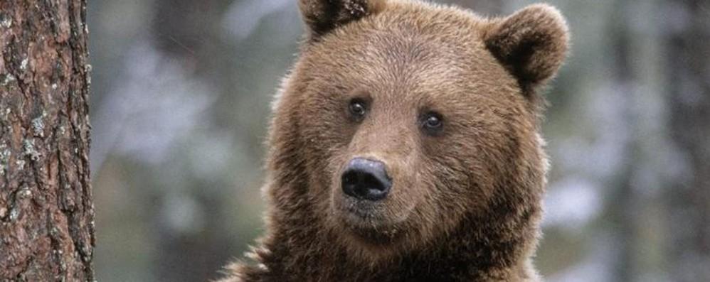 Averara, orso sbrana tre capre «Alpeggio sempre più a rischio»