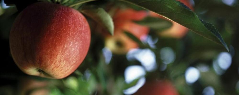 Sabato si raccolgono le mele Giornata self-service in Valle Imagna