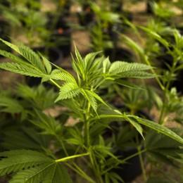 Cannabis, sottostimati gli effetti dannosi