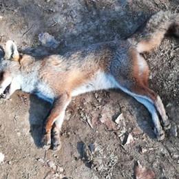Trovata una volpe senza vita a Colognola «Vittima delle esche avvelenate»