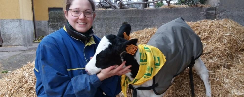 Anche gli allevatori corrono ai ripari Cappottini a vitelli contro il freddo