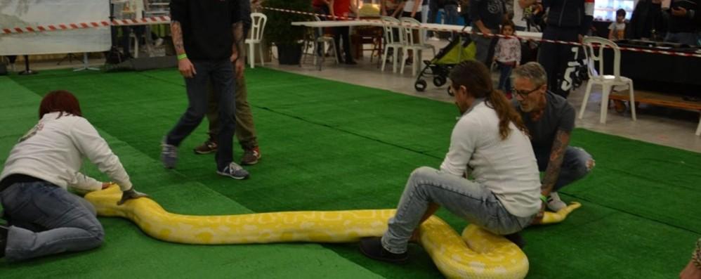 Pienone per Italian reptiles Expo A Chiuduno anche un pitone di sei metri