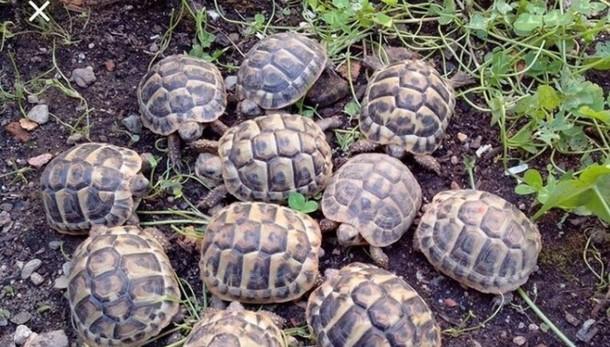 Certificati di nascita falsi Sequestrate a Bergamo 143 tartarughe