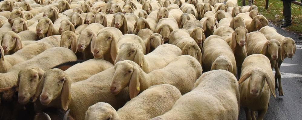 «Belle le greggi di pecore in città ma il Comune ripulisca i loro ricordini»