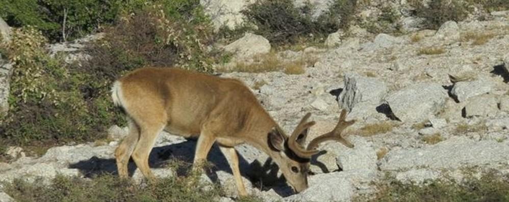 Parre, cervo attraversa la strada Scontro fra due auto: ferita una ragazza