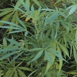 Coltiva marijuana in casa a Mornico «I soldi mi servono per pagare il mutuo»