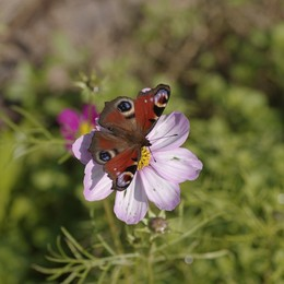 Farfalla novembrina