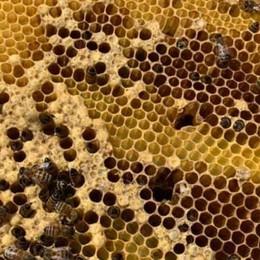 Salviamo le api, ci fanno del bene Sono le «sentinelle» della salute