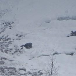 I camosci  scavano nella neve - Video Cercano il cibo sui versanti di Lizzola