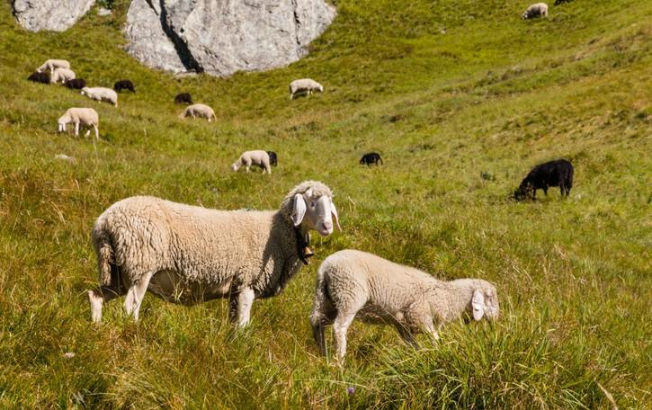 Storia (local) della lana di pecora bergamasca e di un gruppo di imprenditori coraggiosi