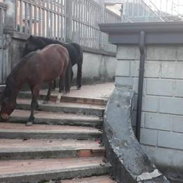 Cavalli in libertà a Gandino  - Foto Trambusto all'ingresso a scuola