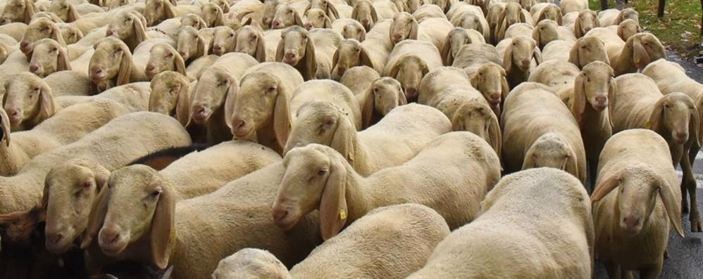Pastori e pecore, 43 mila capi La tradizione è viva nella Bergamasca