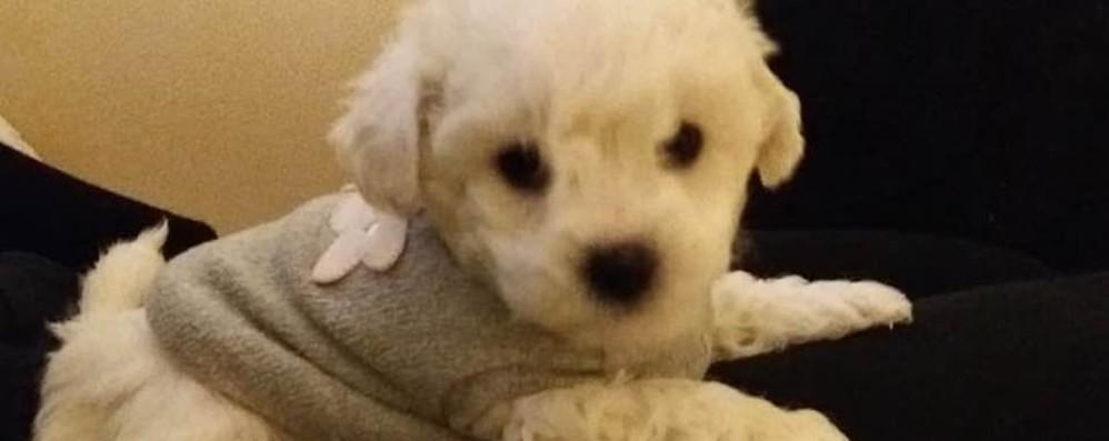Torre Boldone, cagnolino ucciso dai ladri Un cucciolo in dono alla famiglia