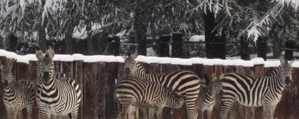 Anche gli animali prendono freddo Cornelle, presto altri leopardi delle nevi