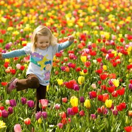 A Terno un enorme campo di tulipani Alla fioritura chiunque potrà coglierli