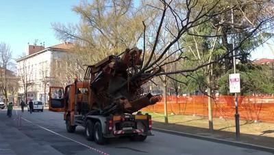 Il passaggio degli alberi storici in citt