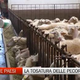 Gente e Paesi, la tosatura delle pecore
