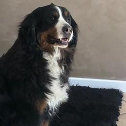 Cane ucciso per rubare un camper Calusco, l'animale è stato avvelenato