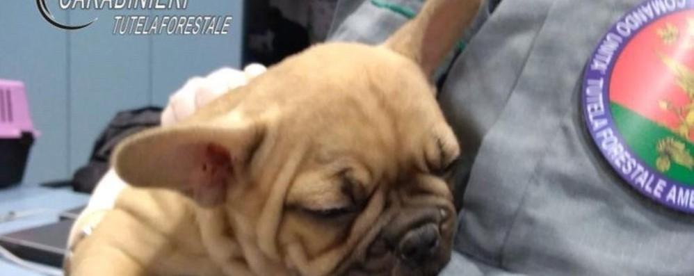 Traffico di cuccioli anche in Bergamasca Animali maltrattati: ci sono 11 indagati