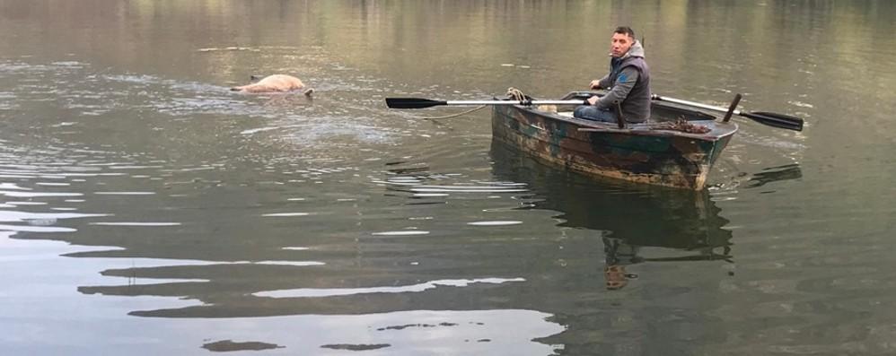 Endine, cervo morto nel lago Odissea per recuperarlo
