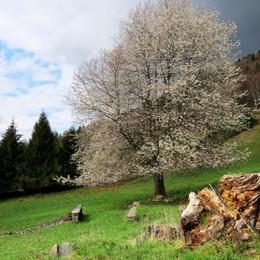 «Bellezza fugace di un ciliegio in fiore...»