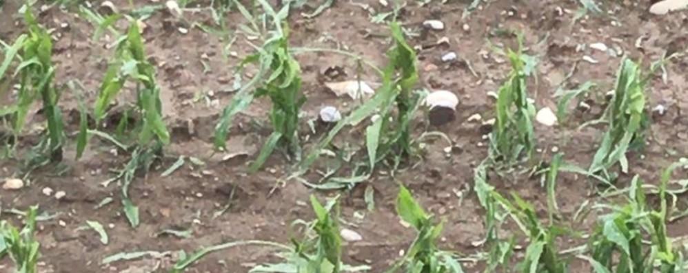Stalle scoperchiate, grandine sul mais Primavera «maledetta» per l'agricoltura