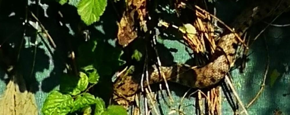 Arriva in ditta e trova un pitone  Allerta a Bonate, il serpente nel Lesina