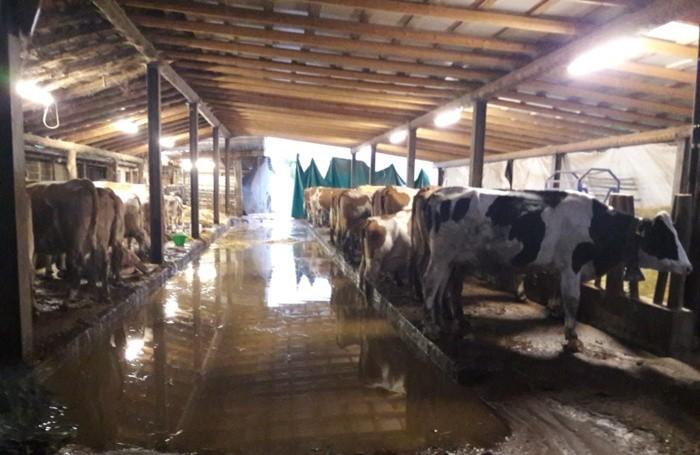 La stalla dell'Azienda Agricola Vivai Cattaneo completamente allagata