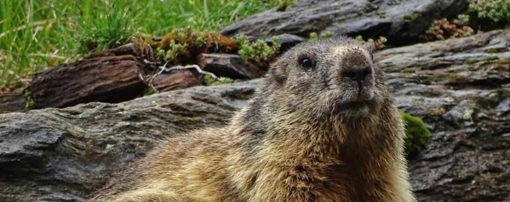 C'è la neve, ma la primavera chiama Sulle Orobie si son svegliate le marmotte