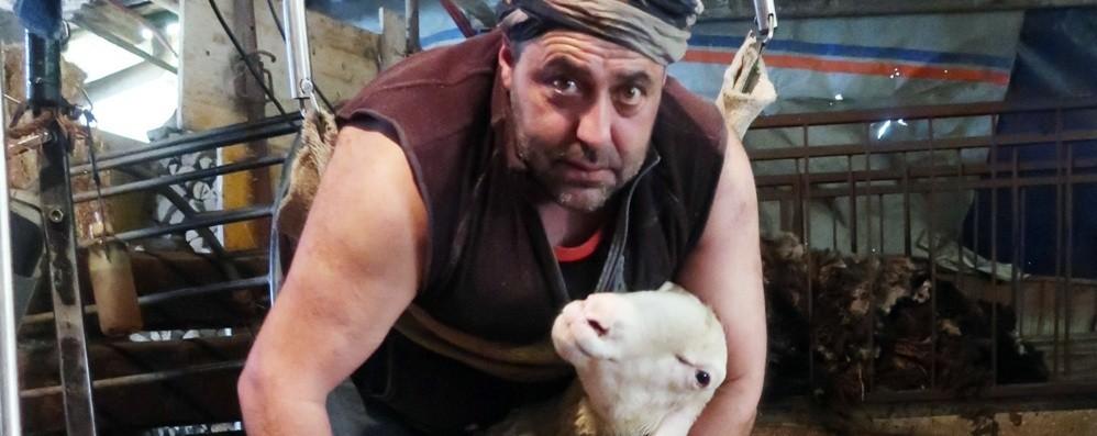 Lascia la fabbrica per tosare le pecore La storia di Claudio, pastore di Sovere