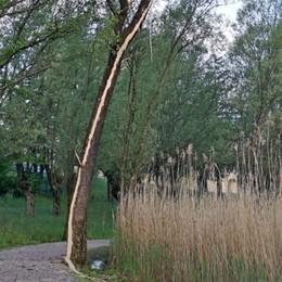 Maltempo sul lago d'Endine - La foto Fulmine colpisce albero e lo «spela»