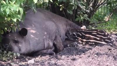 Un piccolo e inaspettato tapiro Tenero fiocco rosa alle Cornelle
