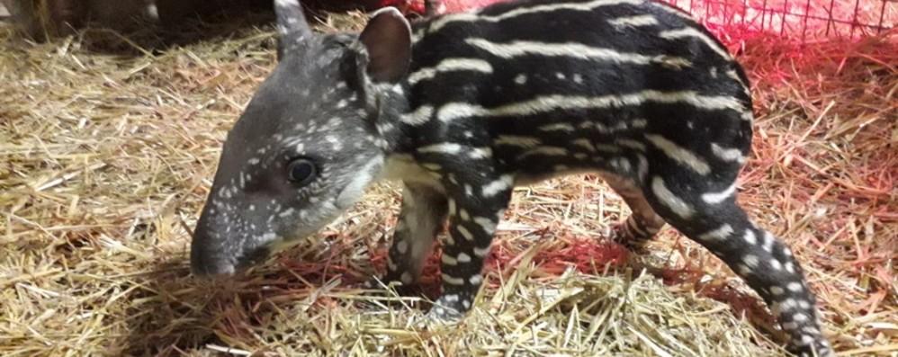 È nato un tapiro «d'oro» - Foto e Video Inaspettato fiocco rosa alle Cornelle